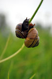 Two snails Royalty Free Stock Photo