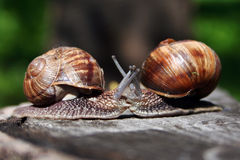 Two snails Royalty Free Stock Image
