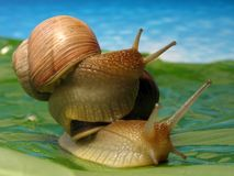 Two snails. Snail climb up another one Royalty Free Stock Photos