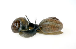 Two snails. On white background Royalty Free Stock Photography