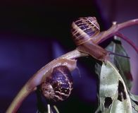 Two snails. Macro of two snails on a sprig eating a leaf Stock Photos