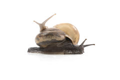 Two snails are climbing together.snails view closeup,Ubonratchat. Hani,Thailand royalty free stock images