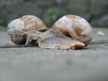 Two snails crawl to each other for a meeting. Conversation of two snails.n stock images