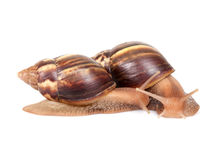 Two snails crawl on white background Royalty Free Stock Photography