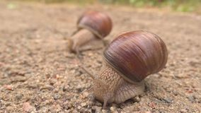Two snails stock video footage