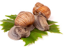 Two snails crawling on the grape leaves white background Royalty Free Stock Photography