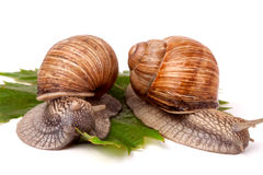 Two snails crawling on the grape leaves white background Stock Photography