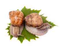 Two snails crawling on the grape leaves white background Stock Photos