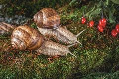 Free Two Snails Crawling On The Moss Among The Berries In The Forest Stock Photography - 144381152
