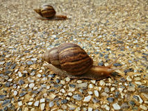 Two snails crawling slowly on the rocky floor Royalty Free Stock Photography