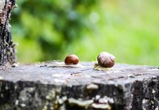 Two snails crawling in summer day in garden. Snails crawling in summer day in garden royalty free stock photo