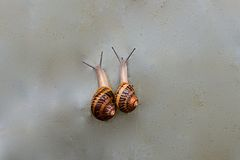 Two snails crawling together Stock Photography