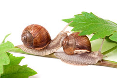 Two snails crawling on the vine with leaf white background Royalty Free Stock Image