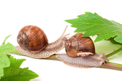 Two snails crawling on the vine with leaf white background Stock Image