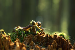 Two snails creep along the broken red stump with the morning forest, are illuminated by the sun Royalty Free Stock Image