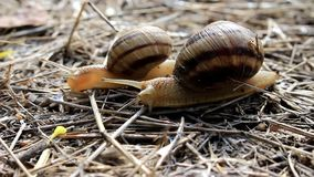 Two snails creep along the grass. Two snails crawl on dry grass stock footage