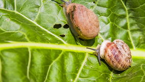 Two Snails Creeping on a Green Leaf. Close-up: two snails creeping on a green leaf. Shot in  RAW format stock footage