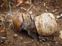 Two snails cuddling looking at each other. Two snails hugging and looking at each other Stock Image