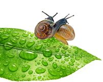 Two snails on dewy leaf Royalty Free Stock Photos