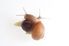 Two snails embracing. Details of two snails, one climbing on the others back, white background Stock Image