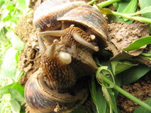Love of two snails. The two are fall in love snail Royalty Free Stock Images