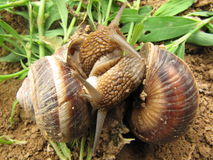 Love of two snails. The two are fall in love snail Royalty Free Stock Photos