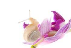 Two snails on the flowers (isolated on white) Royalty Free Stock Photography