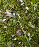Two snails in garden. Snails in garden moss and grass. Snails in Latvian spring. Under the plum tree Royalty Free Stock Photos
