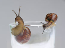 Two snails on glass. Over grey background Stock Images