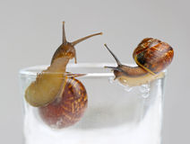 Two snails on glass. Over grey background Royalty Free Stock Photos
