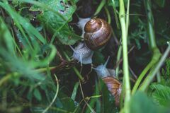 Two snails in grass Royalty Free Stock Photo