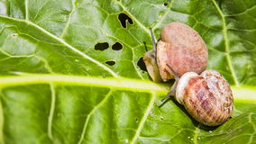 Two Snails on a Green Leaf. Close-up: two snails crawling on a green leaf. Shot in  RAW format stock video footage