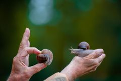 Two snails on the hand Royalty Free Stock Photo