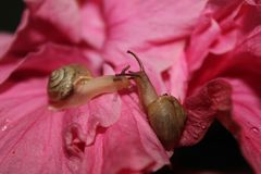 Two Snails on a hibiscus flower Royalty Free Stock Photography