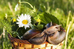 Two snails hug in basket. In garden Stock Photo