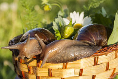 Two snails hug in basket. In garden Royalty Free Stock Images