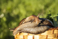 Two snails hug in basket. In garden Royalty Free Stock Photo