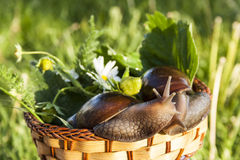 Two snails hug in basket. In garden Stock Image