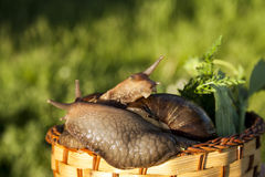 Two snails hug in garden. Two snails hug in basket in garden Royalty Free Stock Images