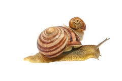 Two snails.Isolated. Stock Photos