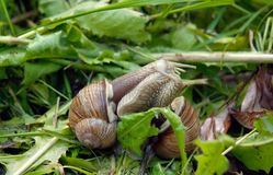 Two snails kissing Stock Photo