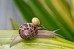 Two Snails Stock Photo