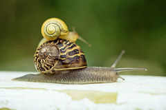 Two Snails Royalty Free Stock Images