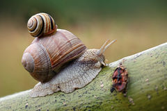 Two snails on leaf. Royalty Free Stock Photos