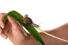 Two snails on a leaf Royalty Free Stock Images