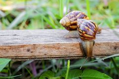Two snails are looking for food Stock Photos