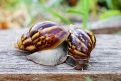 Two snails are looking for food Stock Image