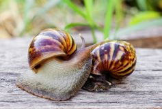 Two snails are looking for food Royalty Free Stock Image