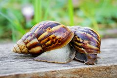 Two snails are looking for food Royalty Free Stock Photos