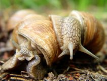 Two snails in love Royalty Free Stock Photos